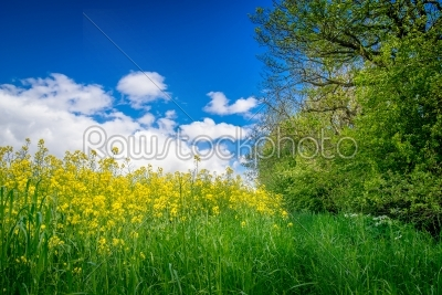 stock photo: canola on a green meadow-Raw Stock Photo ID: 68085