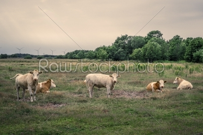 stock photo: cattle on a field in cloudy weather-Raw Stock Photo ID: 69818