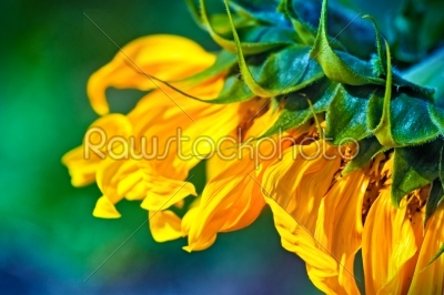 stock photo: closeup of a sunflower-Raw Stock Photo ID: 68293