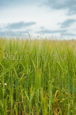stock photo: crops on a field-Raw Stock Photo ID: 66286