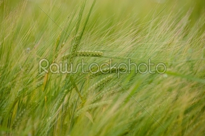 stock photo: crops on a field-Raw Stock Photo ID: 66287