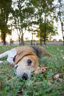 stock photo: cute beagle lying on the grass in the park-Raw Stock Photo ID: 52740