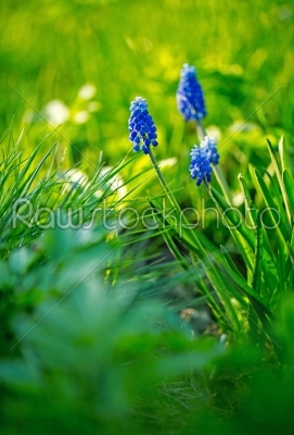 stock photo: dark blue flowers muscari -Raw Stock Photo ID: 68441