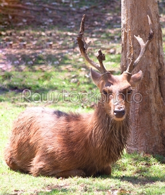 stock photo: deer forest-Raw Stock Photo ID: 55353