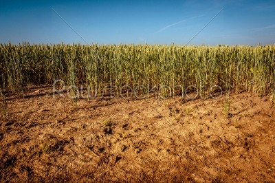 stock photo: dry wheat field-Raw Stock Photo ID: 66290