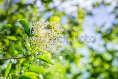 stock photo: elderberry flower in a garden-Raw Stock Photo ID: 69765
