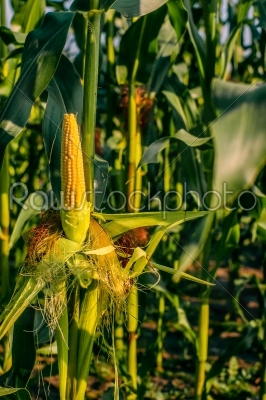 stock photo: fresh yellow corn crops-Raw Stock Photo ID: 66038