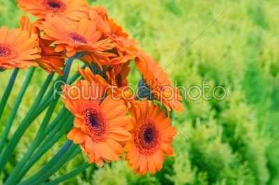 stock photo: gerbera flowers on green background-Raw Stock Photo ID: 69786