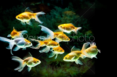 stock photo: gold fishes in aquarium-Raw Stock Photo ID: 75042