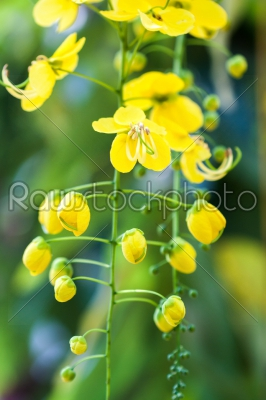 stock photo: golden shower flower-Raw Stock Photo ID: 75044