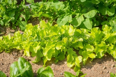 stock photo: green salad in a garden-Raw Stock Photo ID: 69763