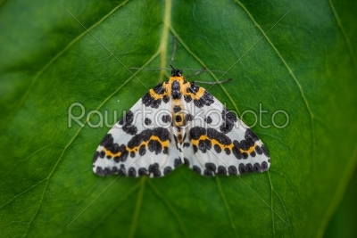 stock photo: harlekin butterfly on a green leaf background-Raw Stock Photo ID: 70226