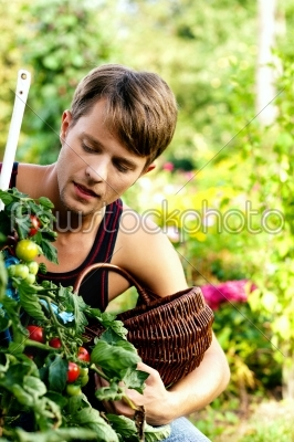 stock photo: harvesting tomatoes-Raw Stock Photo ID: 50226