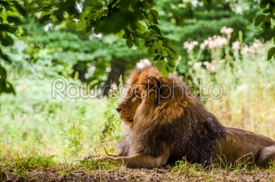 stock photo: male lion laying in a forest-Raw Stock Photo ID: 66087