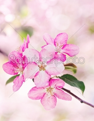 stock photo: pink apple flowers bloom-Raw Stock Photo ID: 68371
