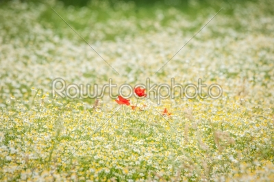 stock photo: poppy flowers on a chamomile meadow-Raw Stock Photo ID: 69859