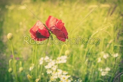 stock photo: poppy flowers on a meadow-Raw Stock Photo ID: 69775