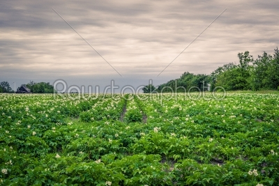 stock photo: potato field in cloudy weather-Raw Stock Photo ID: 69813