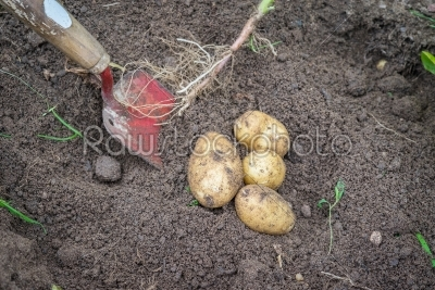 stock photo: potatoes and a shovel in the soil-Raw Stock Photo ID: 69828