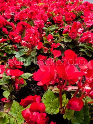 stock photo: red flowers-Raw Stock Photo ID: 74970