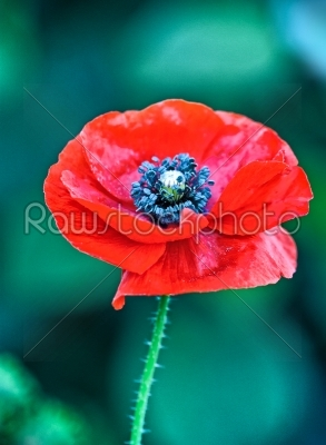 stock photo: red poppy-Raw Stock Photo ID: 68244