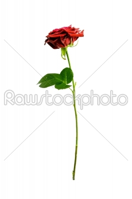 stock photo: red rose on a green stalk-Raw Stock Photo ID: 66618
