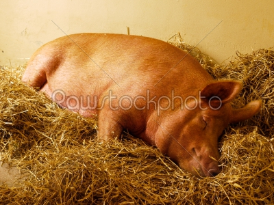 stock photo: sleeping pig -Raw Stock Photo ID: 75028