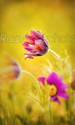 stock photo: spring flower pasque flower  pulsatilla patens flower sleep  grass-Raw Stock Photo ID: 68444