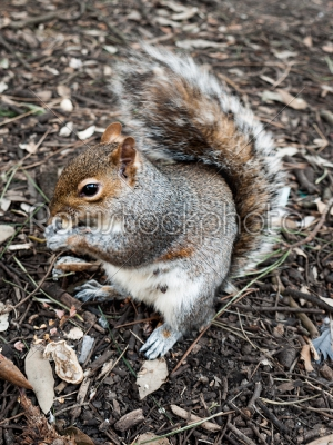 stock photo: squirrel eating a nut-Raw Stock Photo ID: 74934