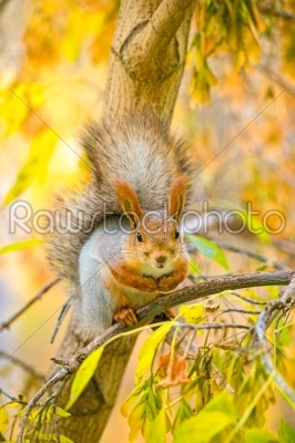 stock photo: squirrel on the branch-Raw Stock Photo ID: 68256