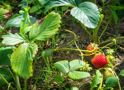 stock photo: strawberry plants with a berry-Raw Stock Photo ID: 69762