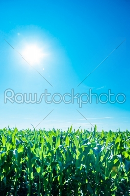 stock photo: sunshine over cornfield-Raw Stock Photo ID: 66263