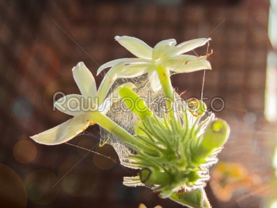 stock photo: sweet smelling white starjasmin flower on falling sun-Raw Stock Photo ID: 67196