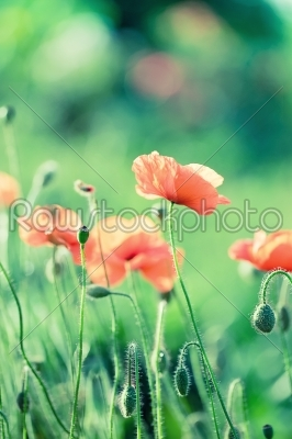 stock photo: tender pink poppy with drops on green background closeup-Raw Stock Photo ID: 68333