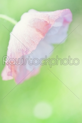stock photo: tender poppy closeup-Raw Stock Photo ID: 68246