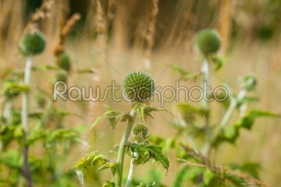 stock photo: thistle flowers on a meadow-Raw Stock Photo ID: 69858