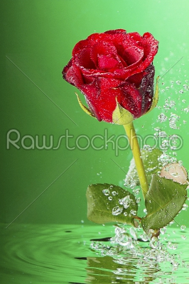 stock photo: underwater red rose-Raw Stock Photo ID: 73896