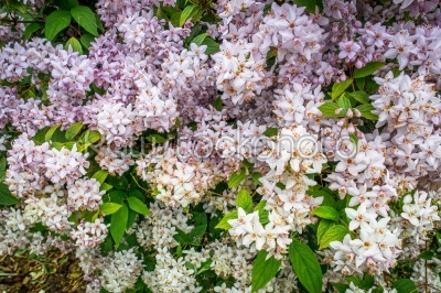 stock photo: white flowers on a bush-Raw Stock Photo ID: 69777