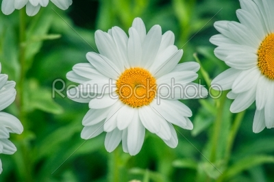 stock photo: white marguerites on natural green background-Raw Stock Photo ID: 69862